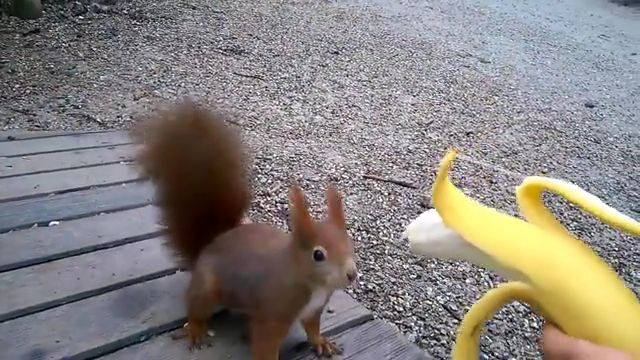 Cute Squirrel Eating Banana