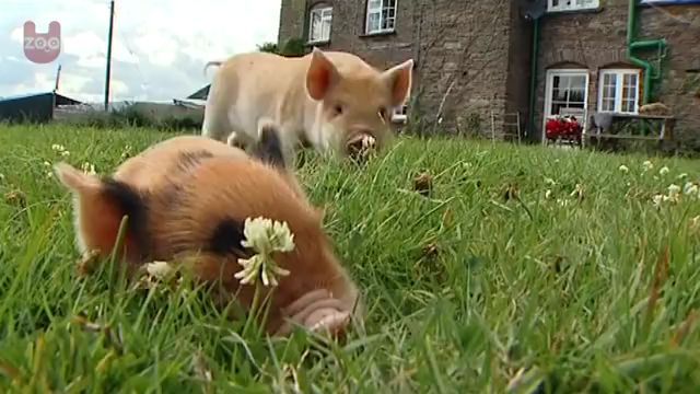 Truth About Micro Pigs - Video & GIFs   farm animals,pigs pet,grown micro,mini pig cafe,belly pigs,baby pigs,micro piglets,cute piglets,baby animals cute baby piglets,full grown,real size,teacup pigs,teacup,micro pig,mini pig,miniature pig