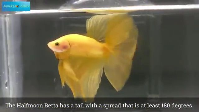 Betta Fish Contest