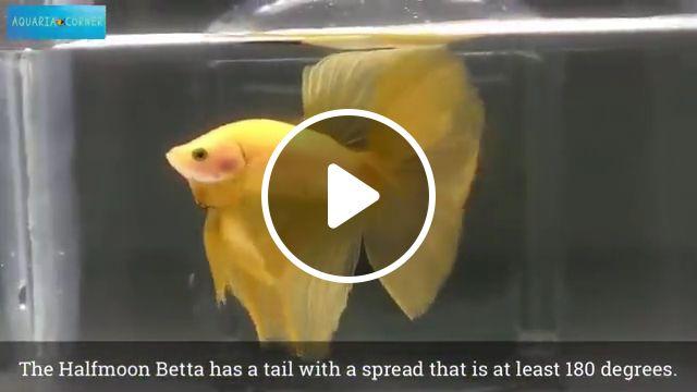 Betta Fish Contest