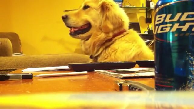 Golden Retriever dog likes guitar