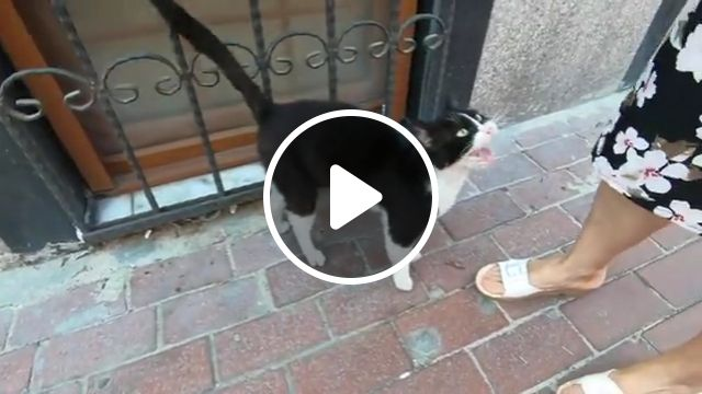 Tuxedo Cat Is Sitting Over The Car And Meowing Loudly - Video & GIFs | tuxedo cat, black, white, tabby cat, ginger cat, stray kitten, cat breeds, calico cat, love meow, kitty, kittens meowing, pet, tuxedo kitten