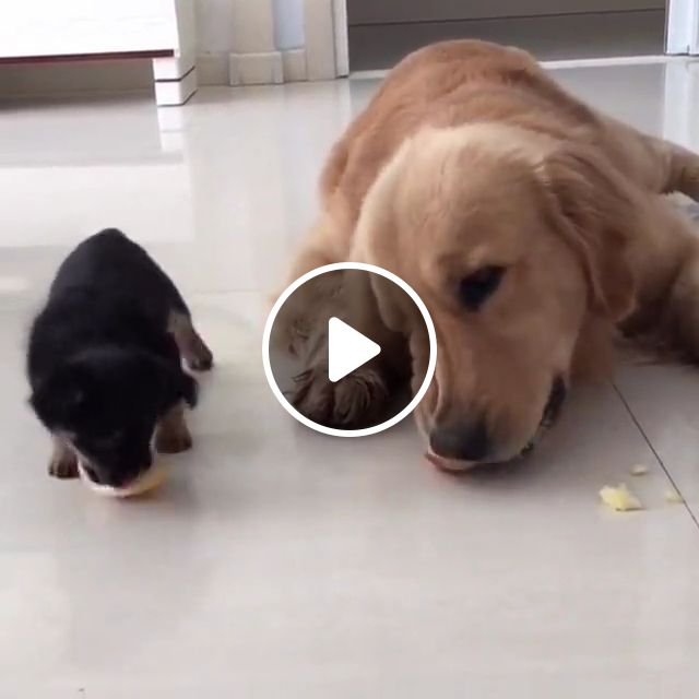 Golden Retriever dog Gets An Adorable Puppy Friend