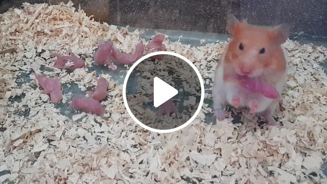 Hamster Giving Birth First Time, hamster births, hamster is pregnant, babies hamster, hamster gestation period, hamster breeding, mother gave birth, animal giving birth, animal mating, hamster giving birth, giving birth first time, giving birth at home, mouse giving birth, mouse giving birth first time, hamster give birth, baby hamsters growing up, baby hamsters, fight for yogurt, hamster, dwarf hamster, hamster cage, cleaning hamster cage, cleaning dwarf hamster, cleaning hamster, cage, hamster with babies, eating baby, life of hamster, wonderful hamster