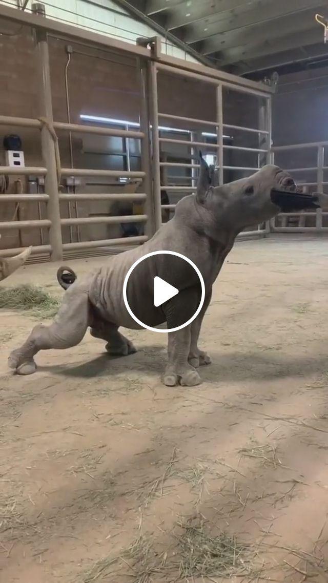 Cute Baby Rhino - Video & GIFs | white rhino baby, cute rhino, baby rhino poses, funny animals, rhinos posing, adorable baby rhino, mother and baby rhino, baby rhino brush, baby rhino groom