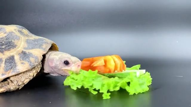 Tortoise Eating vegetables