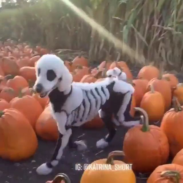 Dog Halloween Costume | Cute Dog, Best Dog Costumes, Halloween Dog