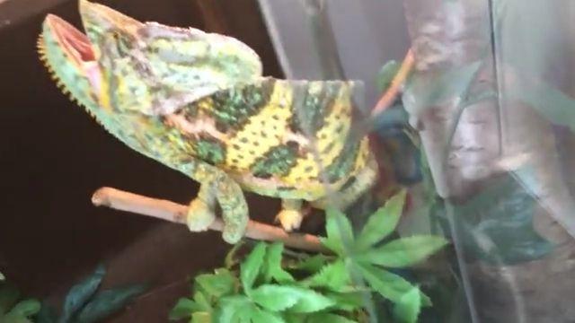 Handle aggressive chameleon - Video & GIFs   aggression in veiled chameleons,veiled chameleons,chameleons bite