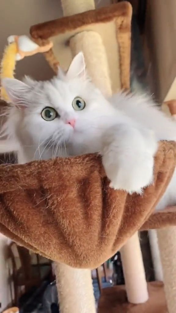 Stunning Persian Cat