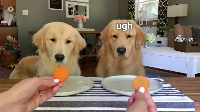 Golden retriever dog Reviews Food With Girlfriend