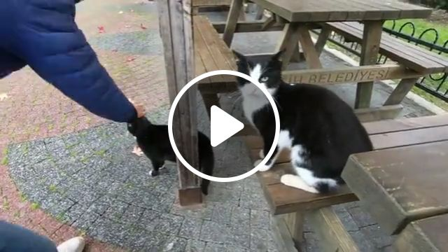 Tuxedo cat envy each other at the park, tuxedo cat, stray cats, scottish fold, female tuxedo, ozone park, kitten, domestic cat, winter park, south ozone, maine coon, funny cats, echo park, crazy cats, kitty cats, cute cats, kittens cats, cat lady