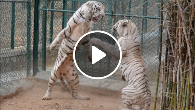 White Tiger - Video & GIFs   pet, real, wild, rare, black, high resolution, endangered, transparent, singapore zoo, lion, anthro, chinese, male, angry, adorable, deviantart, baby, wallpaper, snow, beautiful, drawing, cute, bengal tiger, cub, blue eyes, anime, female, kenny, roaring, siberian