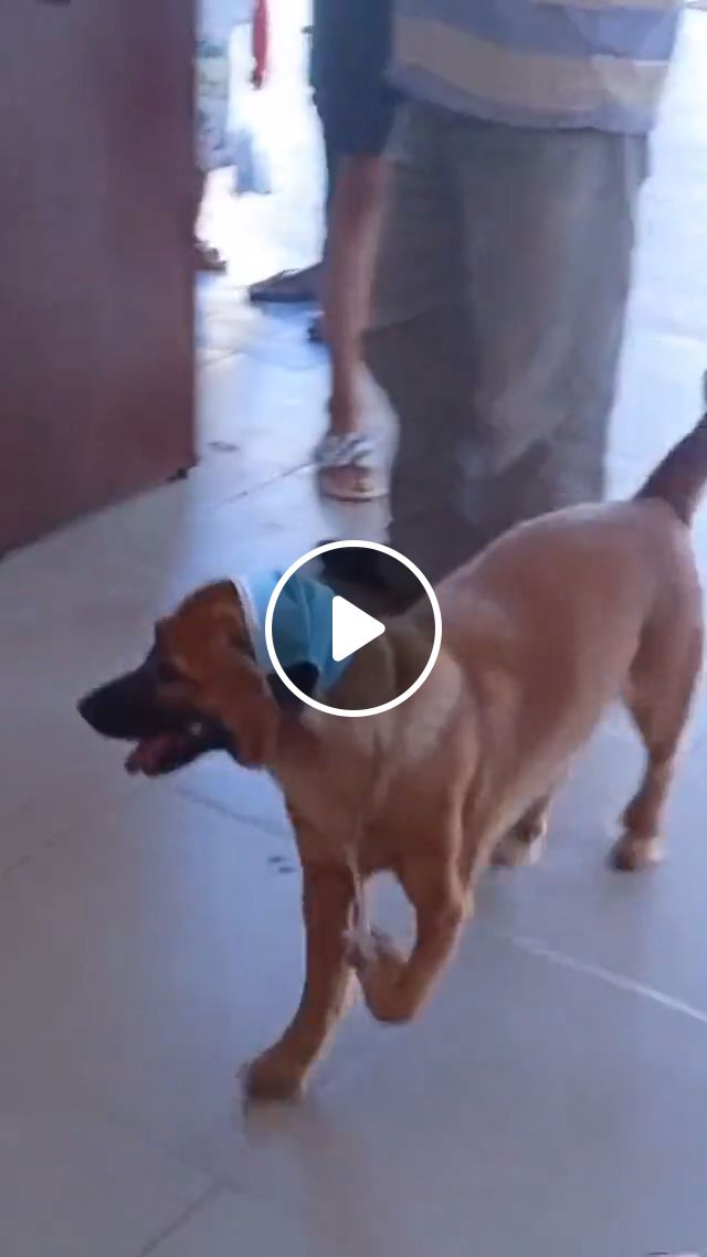 Please Help This Poor Dog - Video & GIFs   cute dog, funny animals, adorable dog, poor dog, troll dogs, dogs meme, causes of limping in dogs
