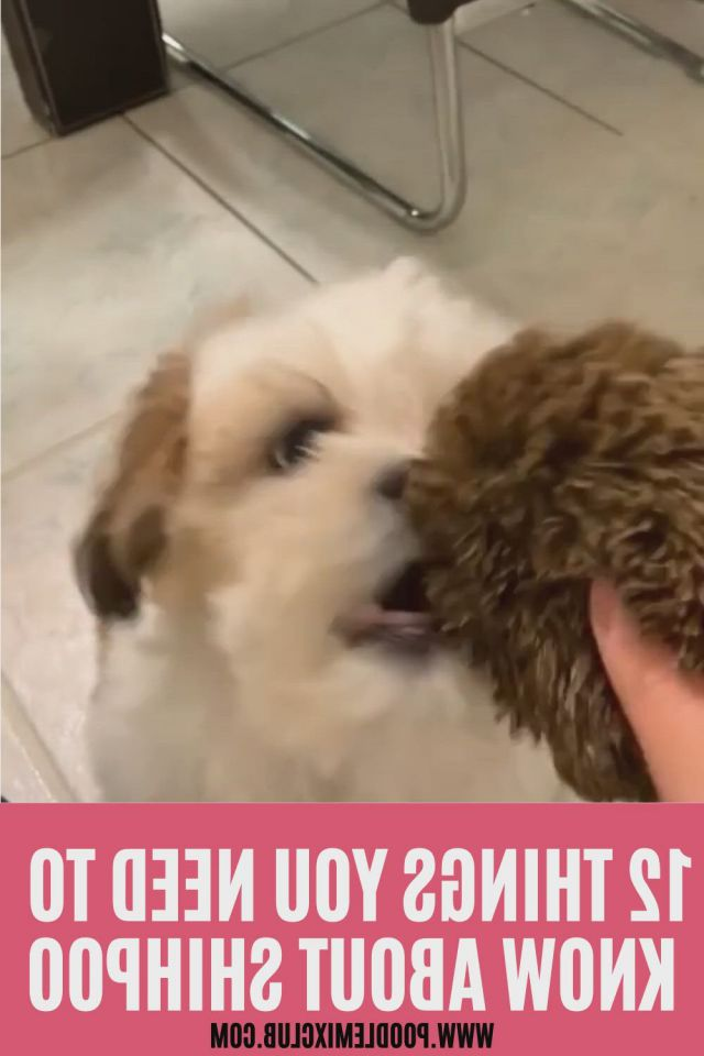 12 things you need to know about shihpoo - Video & GIFs   shih poo,poodle mix dogs,shih tzu poodle,shih tzu poodle mix,bichon havanais,shih tzu dog,teddy bear puppies,teacup puppies,dachshund puppies,cute small dogs,cute dogs