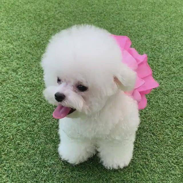 Cutest bichon frise puppies - Video & GIFs | bichon frise puppy,puppies,cute fluffy dogs,bichon dog,toy poodle puppies,cute baby puppies,teacup bichon frise,teacup chihuahua,maltese dogs,poodle mix,pomeranian