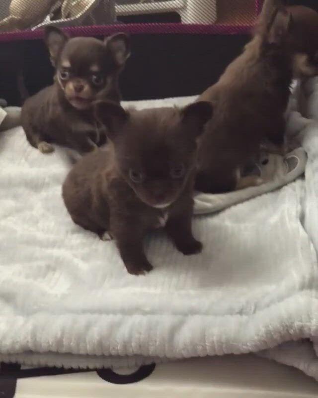 Cutest chihuahua puppies - Video & GIFs   chihuahua puppies,puppies,cute baby animals,cute chihuahua,teacup chihuahua,cute puppies,cute dogs,dogs and puppies,cute babies,chihuahuas,baby bulldogs