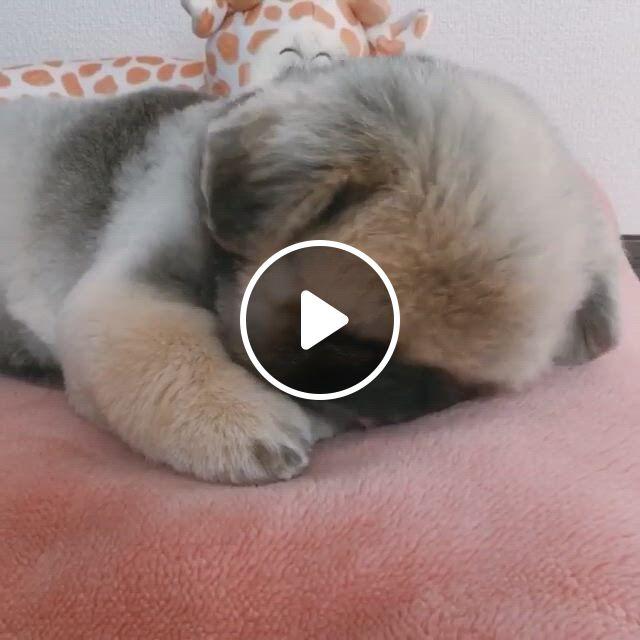 Cutest Pekingese Puppy - Video & GIFs   cute baby animals, pekingese puppies, puppies, cute little animals, cute funny animals, funny dogs, funny puppies, shih tzu puppy, dachshund puppies, schnauzer puppy, rottweiler puppies