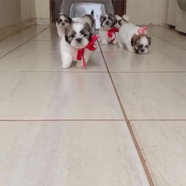 Cutest shih tzu puppies - Video & GIFs | cute baby dogs,cute little puppies,cute dogs and puppies,doggies,perro shih tzu,shih tzu puppy,shih tzus,shitzu puppies,kittens and puppies
