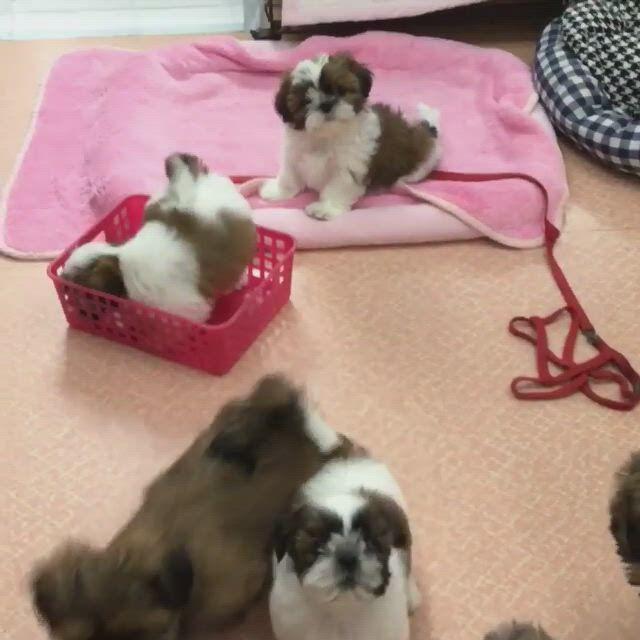 Cutest shih tzu puppies - Video & GIFs   cute baby animals,shih tzu puppy,teacup puppies,cute teacup puppies,shitzu puppies,cute dogs and puppies,baby dogs,teacup chihuahua,bichon frise,baby shih tzu,shih tzus