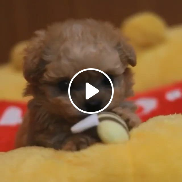 Cutest Toy Poodle Puppy - Video & GIFs | toy poodle puppies, cute baby dogs, cute puppy , super cute puppies, baby animals super cute, cute funny dogs, cute little puppies, cute little animals, cute dogs and puppies, cute funny animals, funny puppies