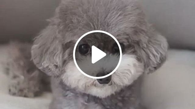 Teddy Bear Poodle - Video & GIFs | teddy bear poodle, teddy bear dog, bear dog breed, teddy bear puppies, cute dogs and puppies, toy poodle puppies, doggies, cortes poodle, le terrier, poodle haircut