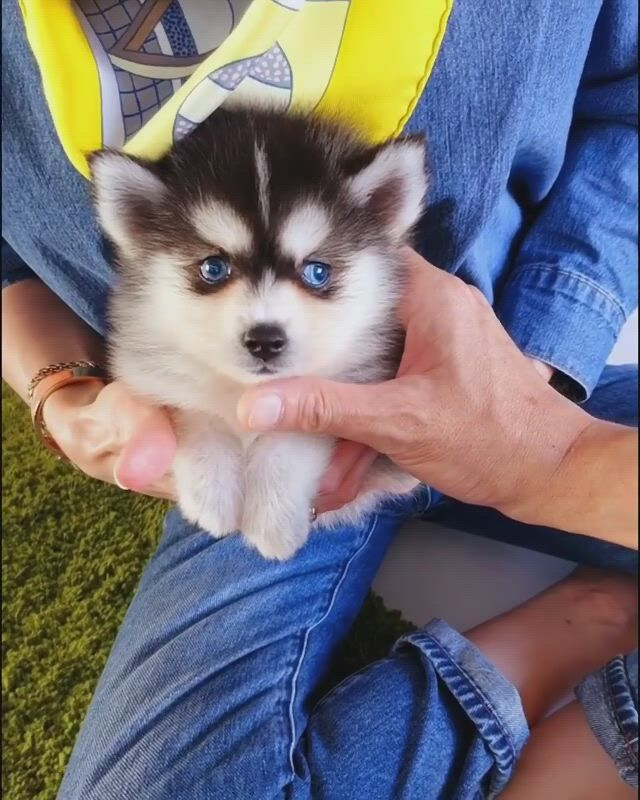Tiny little huskey puppy - Video & GIFs | cute animals,cute dogs,cute baby animals,cute funny animals,animals and pets,tiny puppies,cute dogs and puppies,super cute dogs,fluffy dogs,funny dog ,small dogs