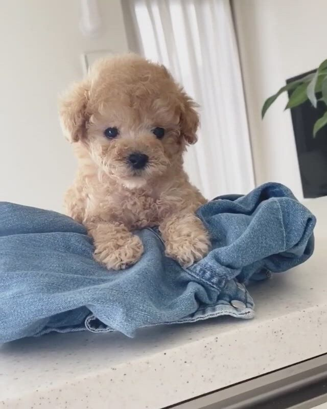 Why am i moving poochon puppies, cute baby dogs, toy poodle puppies - Video & GIFs   poochon puppies,cute baby dogs,toy poodle puppies,teddy bear poodle,yorkie puppy,toy poodles,teddy bear dogs,schnoodle puppy,cavapoo,corgi puppies