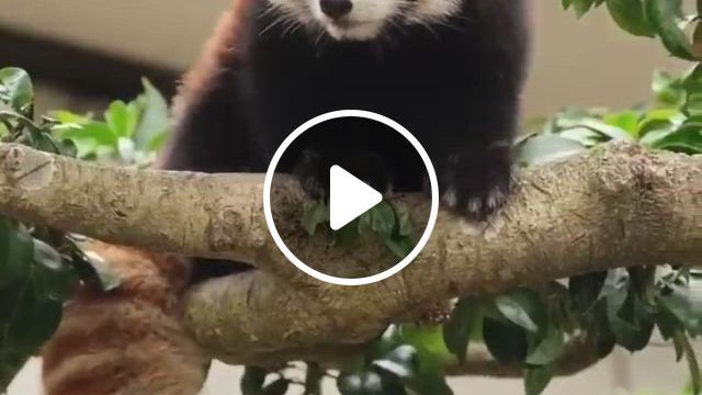 Cute Red Panda - Video & GIFs   cute animals, cute baby animals, baby animals super cute, cute birds, cute gif, beautiful soul, large dogs, animal kingdom, cute babies