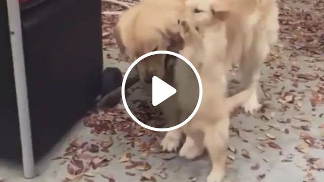 The Most Lovely Dogs - Video & GIFs   cute dogs, wiener dog, dogs, shiba, pomeranian, poodle, dachshund, hot dogs, most beautiful, puppies, animals, pet dogs
