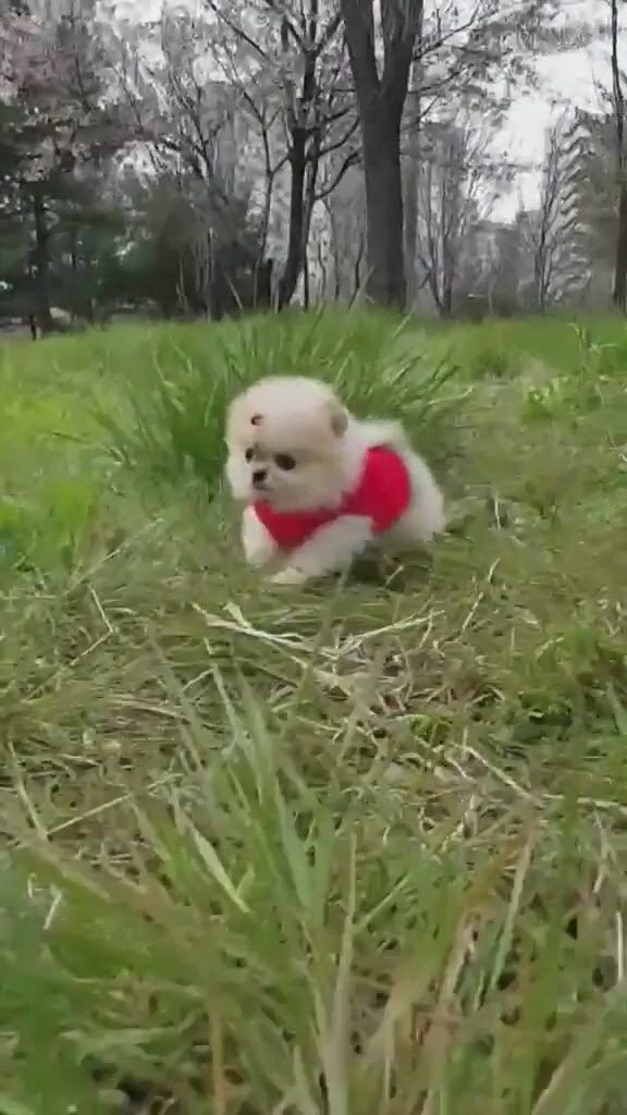 Top dinky dog breeds - Video & GIFs | cute baby dogs,cute dogs,toy dog breeds,small dog breeds,small dogs,cutest dogs,cute babies,pet dogs,dogs and puppies,dog cat