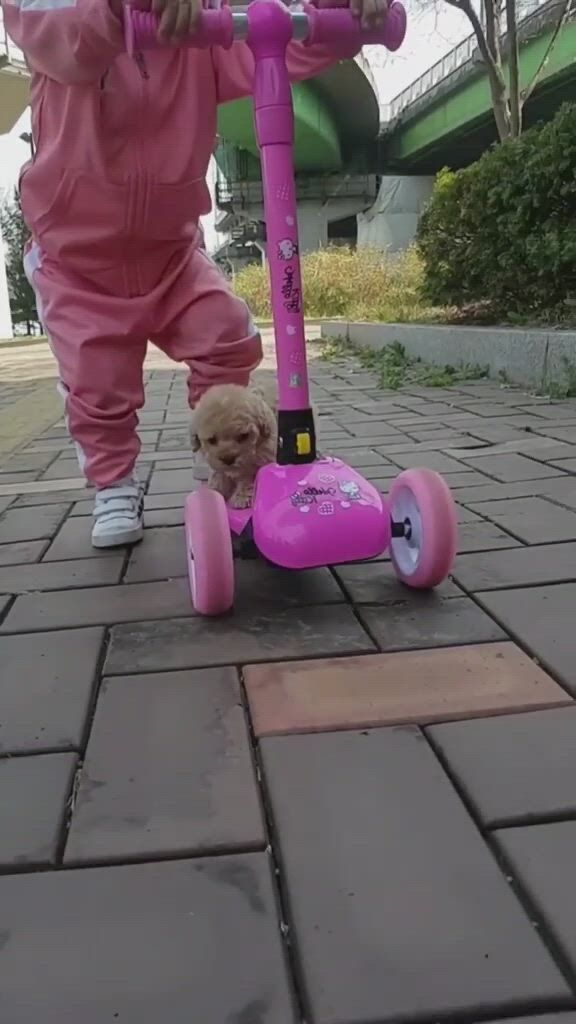 Top the most beautiful and cutest dogs in the world - Video & GIFs | cute dogs,unique dog breeds,poodle dog,schnauzer dogs,beagle dog,dachshund dog,dachshunds,cute dogs breeds,alaska dog,spitz dogs,tea cup poodle