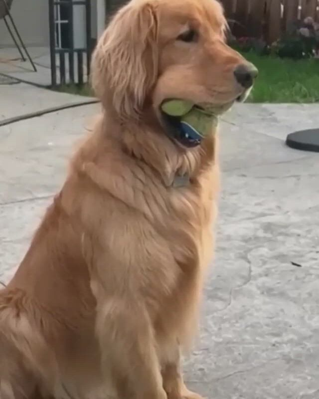 Cute golden retriever with tennis ball - Video & GIFs   cute puppies,kinds of dogs,dogs,cute dogs,cute babies,cute funny animals,cute baby animals,funny short ,funny animal ,chuck norris facts,some jokes