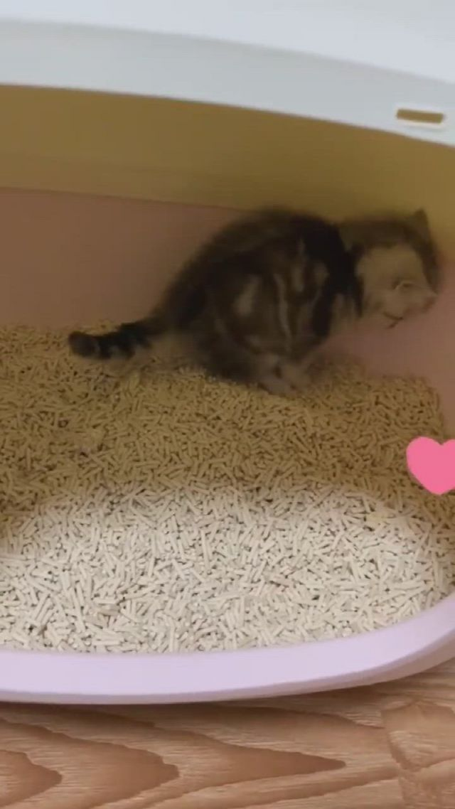 Cute kitten standing in the cat toilet