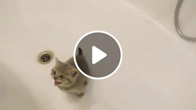 Cute kitten bath, flea, princess, wet, bathing, washing, shower, kitty, water, cute kittens