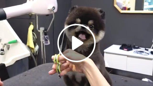 Adorable Pomeranian grooming, short hair, pom, teacup pomeranian teddy bear pomeranian puppies, pet grooming, pomeranian dog grooming, spitz, breed, fur