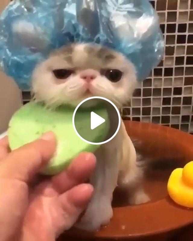 Baby cat bath, scottish fold, kittens, maine coon, terry cloth, persian kittens, bubble bath, bath towel, baby aspen, cartoon, fleas, tongue bath, kitty kitten, cute, animal, kitten baby