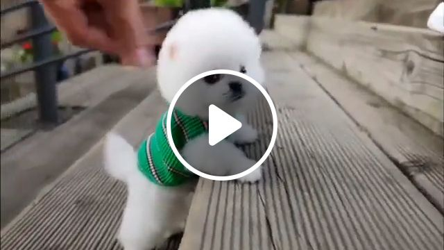 Cute Teacup puppy, cute puppy, teacup puppies, teacup puppy, beautiful puppy, beautiful puppies, pomeranian, pomeranian puppy, pomeranian puppies, white puppy, white puppies, cute puppies, small dog, animal