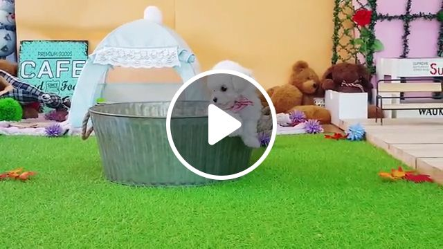 Cute Little White Poodle, dog clothes, toy poodle puppies, adorable animal, white dog breeds, miniature poodle, maltese, mix puppy, teacup poodle, bichon frise, poodle mix, standard poodle, christmas balls, poodle dog