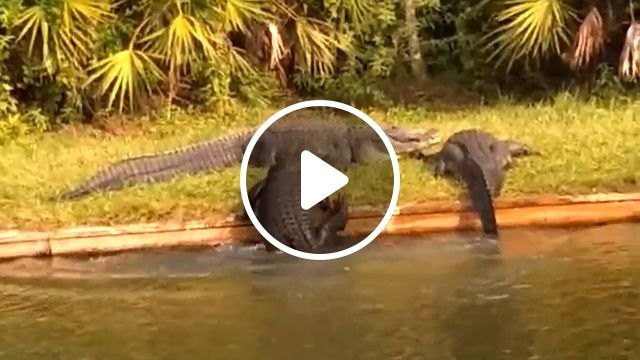 Crocodile Exercises To Lose Weight - Video & GIFs | funny alligator, cute alligator, funny alligators video, alligator can not get up on land, crocodile having a problem getting up on land, big alligator, funny crocodile, cute crocodile, crocodile walk exercise, alligator walk exercise, alligator crawl warm up exercise, alligator crawl, alligator push ups