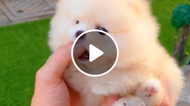 Gorgeous Teacup Pomeranian, adorable dog, fluffy coats, pomeranian pup, brown pomeranian, extremely intelligent, smart personalities, adorable pomeranian puppy, lifespan 16 years