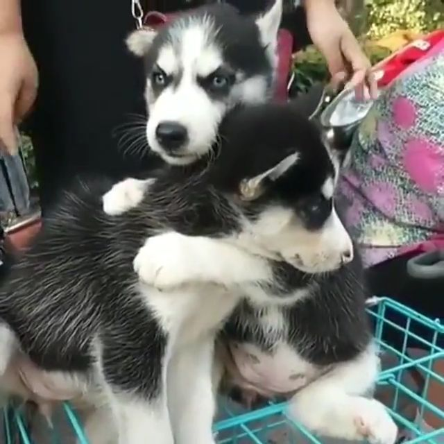 Take care of husky puppies