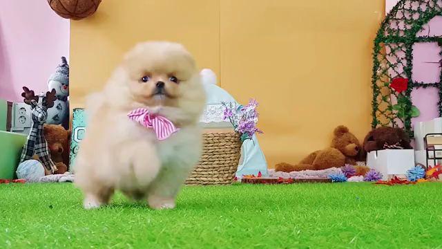 Pomeranian the cutest dog