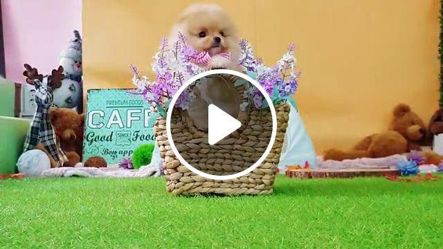 Pomeranian the cutest dog, boo, teacup, spitz, pom, pet, teacup pomeranian, stock photo, dog breed, world cutest, spitz pomeranian
