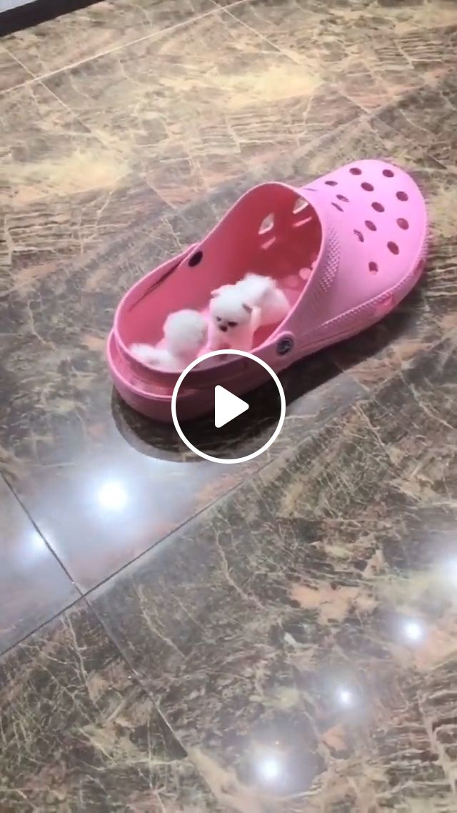 Cute small puppy, small dog, white dog, cute puppy, funny dog, teacup dog