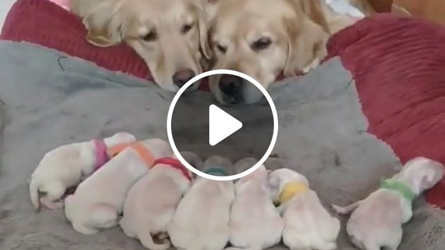Cute Golden Retriever puppy, puppy, wallpaper, snow, dog, mouth, labrador, newborn, baby, 9 month, cuddling, adorable baby, fluffy baby, female baby, smile, 2 month, pretty, pink super cute, love bird, white baby, baby wild, sweet, cute puppy ig, artsy, happy baby, human, girly, cute light, nature, long hair