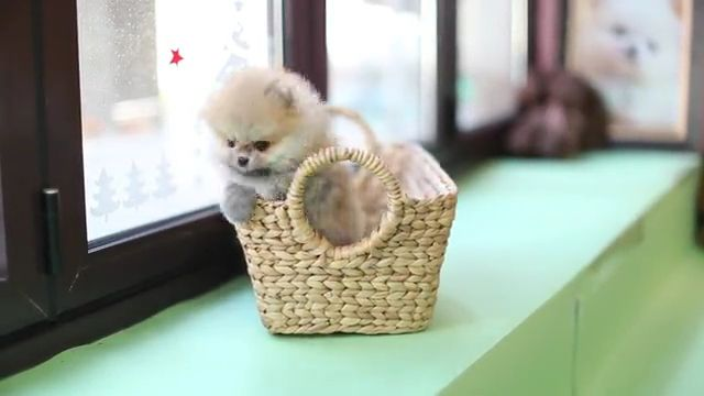 CuteTiny teacup Puppy pomeranian