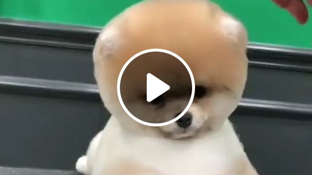 Pomeranian dog breed, pomeranian smart dog, toy dog, average lifespan 16 years, weight 2.0 kg, females 2.5 kg, height 28 cm, coloring, including white, black, brown, tan, orange, teeth brushing twice a week