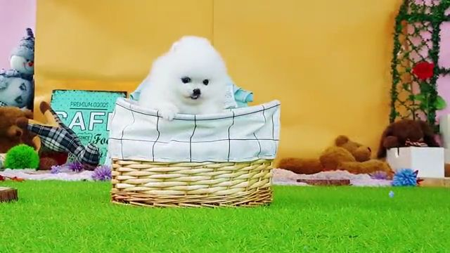 Cute baby teacup puppy - Video & GIFs | pomeranian,dog breeds,fluffy,yorkie,poodle,pug rolly teacup,yorkshire terrier,pug puppies,teacup maltese puppies,teacup pomeranian puppy,teacup yorkie puppies