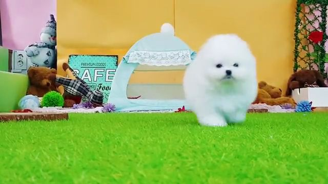 Teacup Pomeranian puppy so cute
