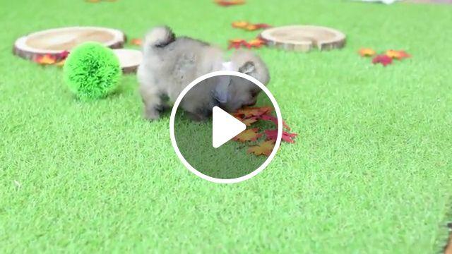 Very Unique Pomeranian Bear, teacup puppies, blue merle, pom, dogs, toy, dog breed, teacup pomeranian dog, bear cub, pomeranian puppies, teddy bear, german spitz, fox face, thunder bear, baby doll pomeranian, pomeranian haircut